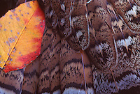 DETAIL SHOT OF RUFFED GROUSE (BONASA UMBELLUS) TAILFEATHERS WITH FALL FOLIAGE, NEAR MARQUETTE, MICHIGAN.