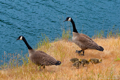 Family of Canada Geese, Smallpox Bay, San Juan Island, Washington