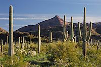 Desert in bloom and Saguaro Cactus (Carnegiea gigantea), Teddy Bear Cholla Cactus (Opuntia bigelovii), Organ Pipe Cactus (Stenocereus thurberi), Organ Pipe Cactus National Monument, Arizona, USA