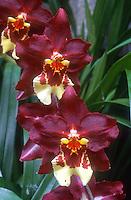 Wilsonara Hambuhren Stern orchid intergeneric hybrid, now is correctly Oncidium Hambühren Stern (tigrinum x Lippestern