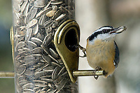 Red-Breasted Nuthatch at a feeder, Jasper National Park