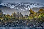 South Georgia Island, Bird Island region , rugged coastline cloaked with kelp fields.