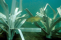 Male largemouth bass guarding newly hatched fry around a Fish Hiding Structure.<br />