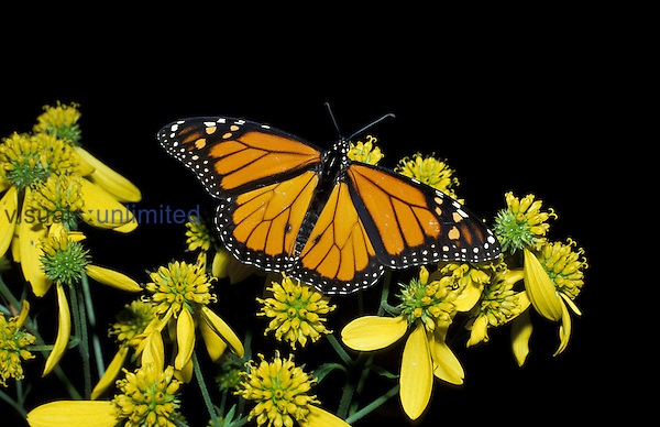 Monarch Butterfly ,Danaus plexippus, on wing-stem ,Verbesina alternifolia,