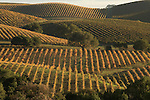 Pinot noir vineyards, Carneros, Napa County