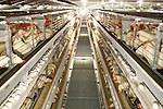 Egg-producing company J.S. West spent $3.2 million installing these &quot;enriched colony systems&quot; in Atwater, California,  August 11, 2010. California's Proposition 2, passed in 2008, requires that egg-laying hens in California be able to fully extend their limbs, lie down and turn in a circle within their enclosures. .CREDIT: Max Whittaker for The Wall Street Journal.EGGS