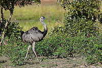 Greater Rhea (Rhea americana), Pantanal, Brazil