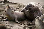 San Simeon, California; a male and female Northern Elephant Seal (Mirounga angustirostris) mating on the sandy beach