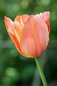 Tulip 'Apricot Star', late April.