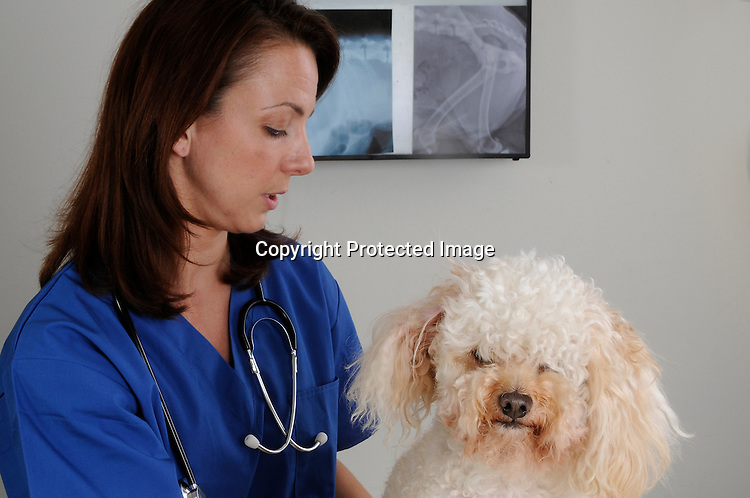 Woman veternarian and poodle mix dog
