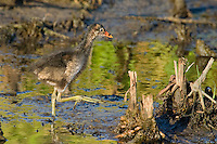 559500003 common gallinule gallinula galeata or common moorhen gallinula chloropus wild texas.Chick in Pond.Anahuac National Wildlife Refuge, Texas