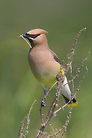 Cedar Waxwing with an insect