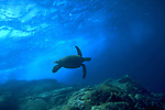 Sea Turtle, Hawaii, USA<br />