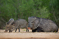 650520307 wild javelinas or collared peccaries dicolytes tajacu forage near a waterhole on santa clara ranch in starr county rio grande valley texas united states