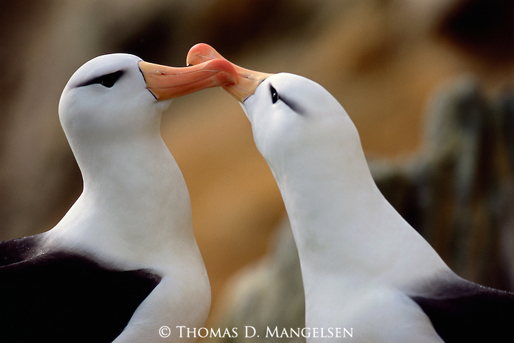 A close up portrait of two Albatross.