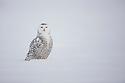 Snowy owl sitting in snow, Canada