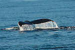 Sea water cascades off humpback whale tail as it dives off Santa Cruz Island, CA