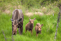 Cow moose with two spring calves feed on grasses, Arctic, Alaska.