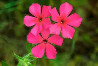 168210009 closeup of brilliant red drummonds phlox phlox drummondii wildflowers in de witt county texas