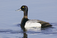 Lesser Scaup swimming on a lake