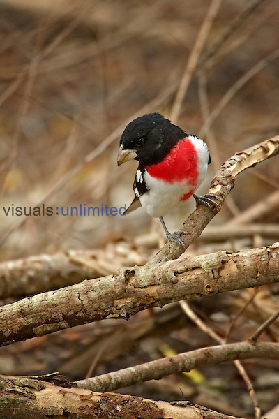 Rose-breasted Grosbeak (Pheucticus ludovicianus).Male breeding plumage