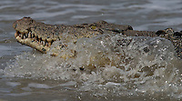 Kakadu Wildlife... Saltwater Crocodile is the largest of all living reptiles and is found in the Northern Territory. They are believed to grow to as large as 20 feet long. <br /> They can potentially eat any animal including monkeys, dangaroos, wild boar, dingos, birds, livestock, water buffalo, sharks and even humans.