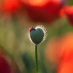 Poppy in Burgundy