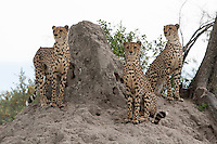 Three alert cheetahs next to a termite mound, Botswana, Africa