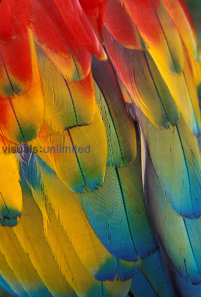 Detail of Scarlett Macaw (Ara macao) feather color. Native from South Mexico to Amazonia (Brazil). Captive, Portland, Oregon. July 1997