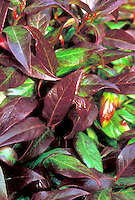 Leucothoe Scarletta aka Zeblid in autumn colors red and green