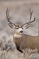 Wyoming mule deer buck during autumn rut