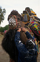 Selcuk, Turkey, 21/01/01..The traditional sport of camel wrestling is popular throughout western Turkey in the winter months; the largest event is the annual festival held in Selcuk on the third weekend of January. An owner prepares to leave covered in camel saliva.