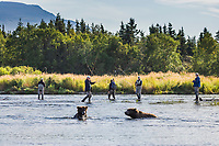 Fly fishing in the Brooks river with the brown bears, Katmai National Park, southwest, Alaska.