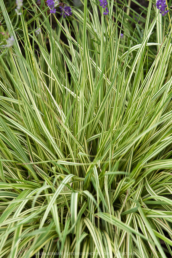 Variegated moor grass molinia caerulea 39 variegata for Variegated ornamental grass