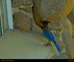 Pacific Steller's Jay Morning Visitor at Ranger's Cabin, Cyanocitta stelleri, Yosemite Village, Yosemite National Park