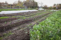 Spring row cops organic vegetables (community supported agriculture); CSA, Singing Frogs Farm