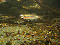 Redside Shiner (with Speckled Dace)<br />