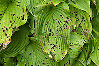 Slug pest insect damage on Hosta plant leaves, problem