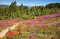 OR01672-00...OREGON - Brightly colored paintbrush and heather in a meadow along the McNeil Point Trail in the Mount Hood Wilderness area with a view of Mount Rainier and Mount Adams.