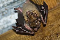 Fruit bats hanging from the rafters in the sugar mill building at Reef Bay. Fruit bats are the only known indigenous mammal in the Virgin Islands.Virgin Islands National Park.St John, U.S. Virgin Islands