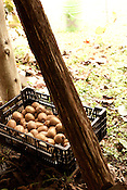 Four Leaf Farm Kiwi Harvest