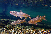 Brown Trout (with Yellowstone Cutthroat Trout)<br />