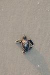 Loggerhead Sea Turtles Hatch