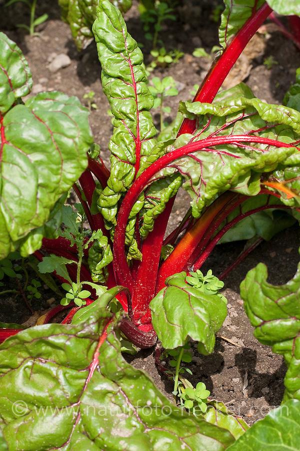 "Mangold ""Rhubarb Chard"", Blatt-Mangold, Schnitt-Mangold, Beta vulgaris cicla, Foliage Beet, Leaf Beet"