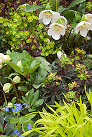 Primula, Euphorbia, Hakon grass &amp; white hellebore in beautiful spring planting combination of yellow and white color theme tones
