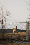 Somehow making it inside the tight security fence at O'Hare International Airport, a lone deer stops long enough to stare at the photographer.