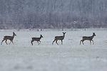 Foto: VidiPhoto<br /> <br /> RENKUM - Vier ree&euml;n steken donderdag een stuk grasland tussen Wolfheze en Renkum over, op zoek naar boomrijke beschutting. De versgevallen sneeuw zorgt niet alleen voor veel verkeersoverlast, maar ook voor mooie plaatjes in de natuur. De keerzijde is dat ree&euml;n en zwijnen veelal ongehinderd kunnen migreren, soms met dodelijke afloop in het verkeer. Het aantal ongevallen met ree&euml;n neemt jaarlijks toe en varieert nu tussen de 1100 en 1400 per jaar (geregistreerd). De ree is de meest voorkomende grofwildsoort in Gelderland. De provincie herbergt tussen de 10.000 en 15.000 exemplaren die bovendien voor enorme schade aan landbouwgewassen zorgen.