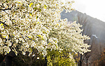 1604-16 142<br /> <br /> 1604-16 GCS Spring Flowers and Blossoms<br /> <br /> BYU Campus Spring<br /> <br /> April 5, 2016<br /> <br /> Photo by Jaren Wilkey/BYU<br /> <br /> &copy; BYU PHOTO 2016<br /> All Rights Reserved<br /> photo@byu.edu  (801)422-7322