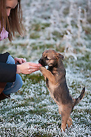 Border terrier puppy taking a treat  during a winter stroll