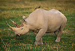 Black Rhinoceros, Ngorongoro Conservation Area, Tanzania